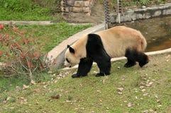 熊猫走 免版税图库摄影
