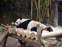 熊猫说谎 库存图片