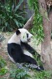 熊猫 图库摄影