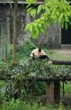 熊猫 免版税库存图片