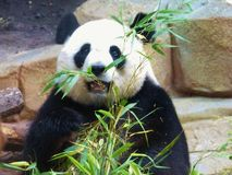 熊猫 免版税图库摄影