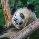 熊猫 库存图片