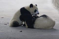熊猫Cub 免版税图库摄影