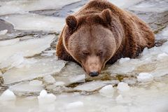熊画象在冻湖 库存图片