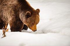 熊画象在雪背景中 库存照片