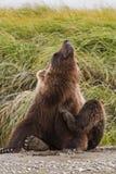 熊痒 免版税库存照片