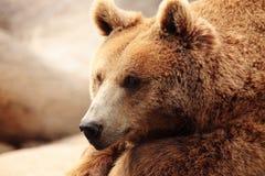 熊的面孔 免版税库存图片