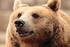 熊的面孔 库存照片