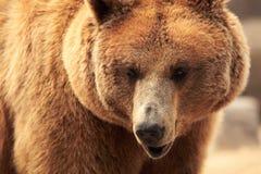 熊的面孔 库存图片