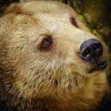熊的画象 库存图片