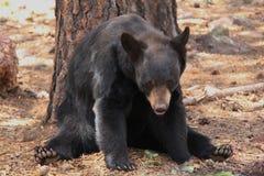 熊看摄影师 免版税库存图片