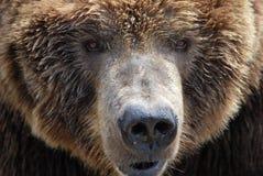 熊眼睛 免版税库存图片