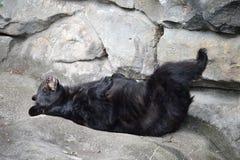 黑熊睡觉 免版税库存照片