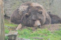 熊睡觉 免版税库存照片