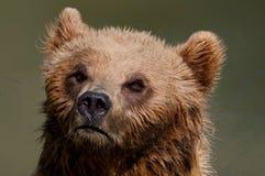 熊纵向 免版税图库摄影
