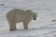 熊经典极性姿态 库存照片
