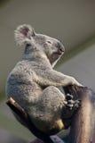 熊考拉 免版税库存照片