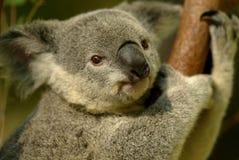 熊考拉 免版税库存图片