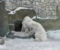熊耦合包括的作用极性雪降雪的寒带草原 库存图片