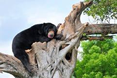 熊蓝色明亮的眼睛 免版税库存图片
