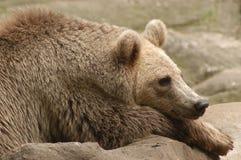 熊蓝色 库存图片