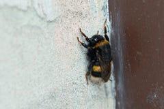 熊蜂坐墙壁 免版税库存照片