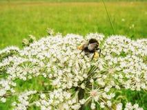 熊蜂terrestris以小蜘蛛大批出没 库存图片