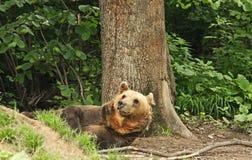 熊褐色位于 图库摄影