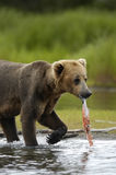 熊褐色依然是三文鱼年轻人 免版税库存图片