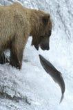 熊褐色对尝试的抓住三文鱼 免版税库存图片