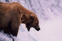 熊褐色对等待的上涨三文鱼 免版税库存图片