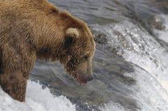 熊褐色对等待的上涨三文鱼 库存图片