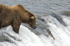熊褐色对等待的上涨三文鱼 免版税库存照片