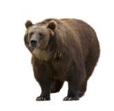 熊褐色查出的白色 库存图片
