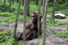 熊褐色笑 库存图片