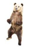 熊褐色身分 免版税库存图片