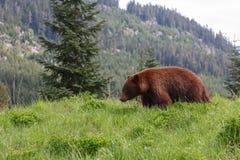 黑熊褐色颜色 免版税库存照片