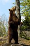 熊褐色 库存图片