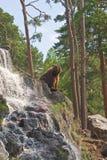 熊褐色 图库摄影