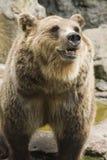 熊褐色ii动物园 库存照片