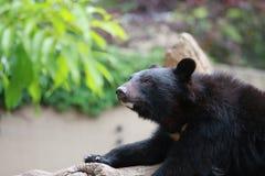 熊认为 免版税图库摄影