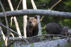 熊说为什么在您这里 免版税库存图片