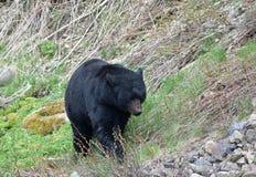 熊走 免版税库存图片