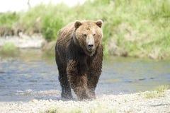 熊运行中 免版税图库摄影