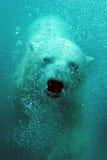 熊逗人喜爱的极性水中 库存照片