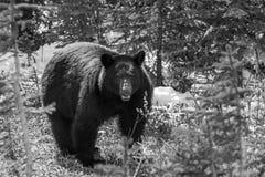 黑熊遭遇 库存图片