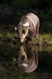 熊饮用的北美灰熊 库存图片