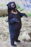熊马来亚星期日 库存照片