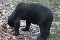 熊马来亚星期日 免版税库存图片