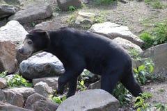 熊马来亚星期日 库存图片